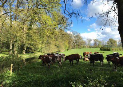 Hollandse 'DIkbil' Koeien van Boer Kool